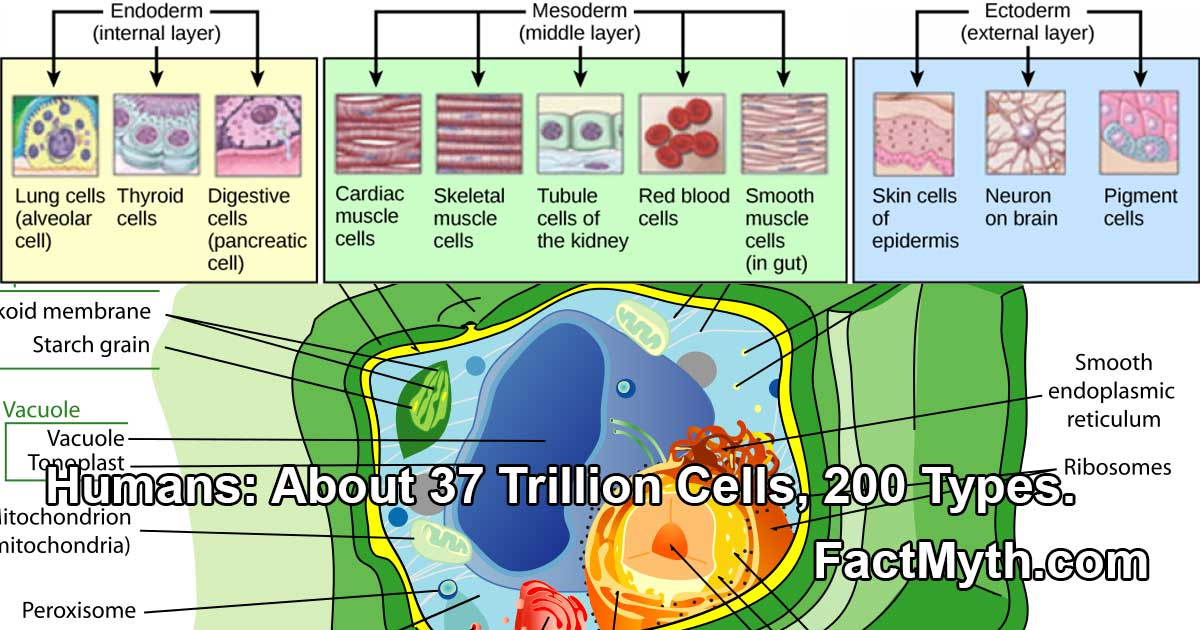 humans-have-many-different-cells