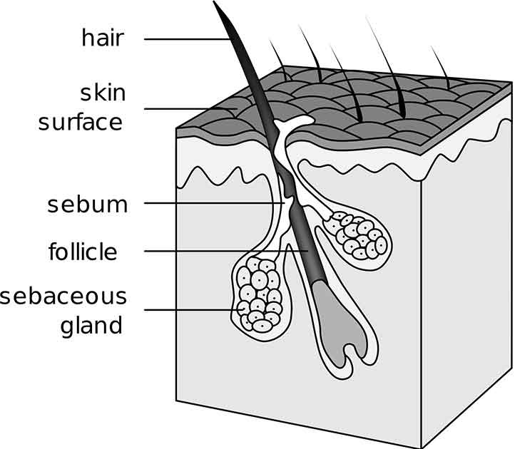hair and hair follicle