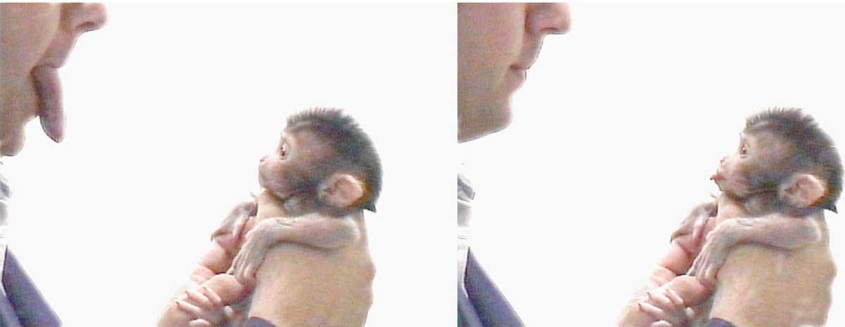 Neonatal (newborn) macaque imitating facial expressions.