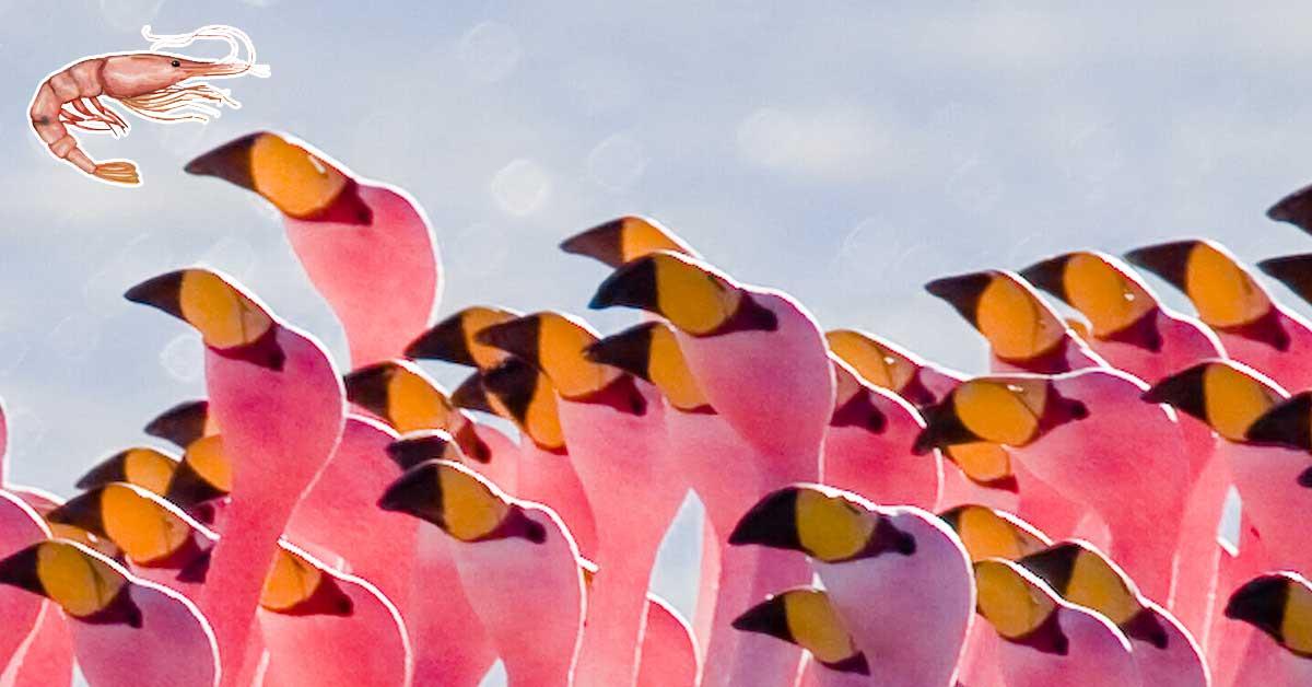 flamingo-shrimp