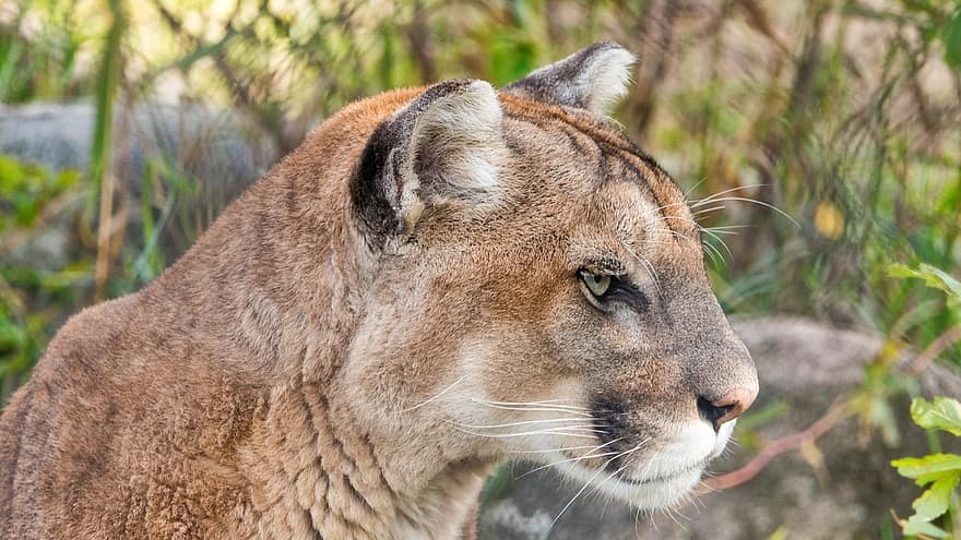 Puma, mountain lion, cougar are all the same cat