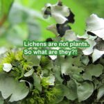 Lichen is not a plant.